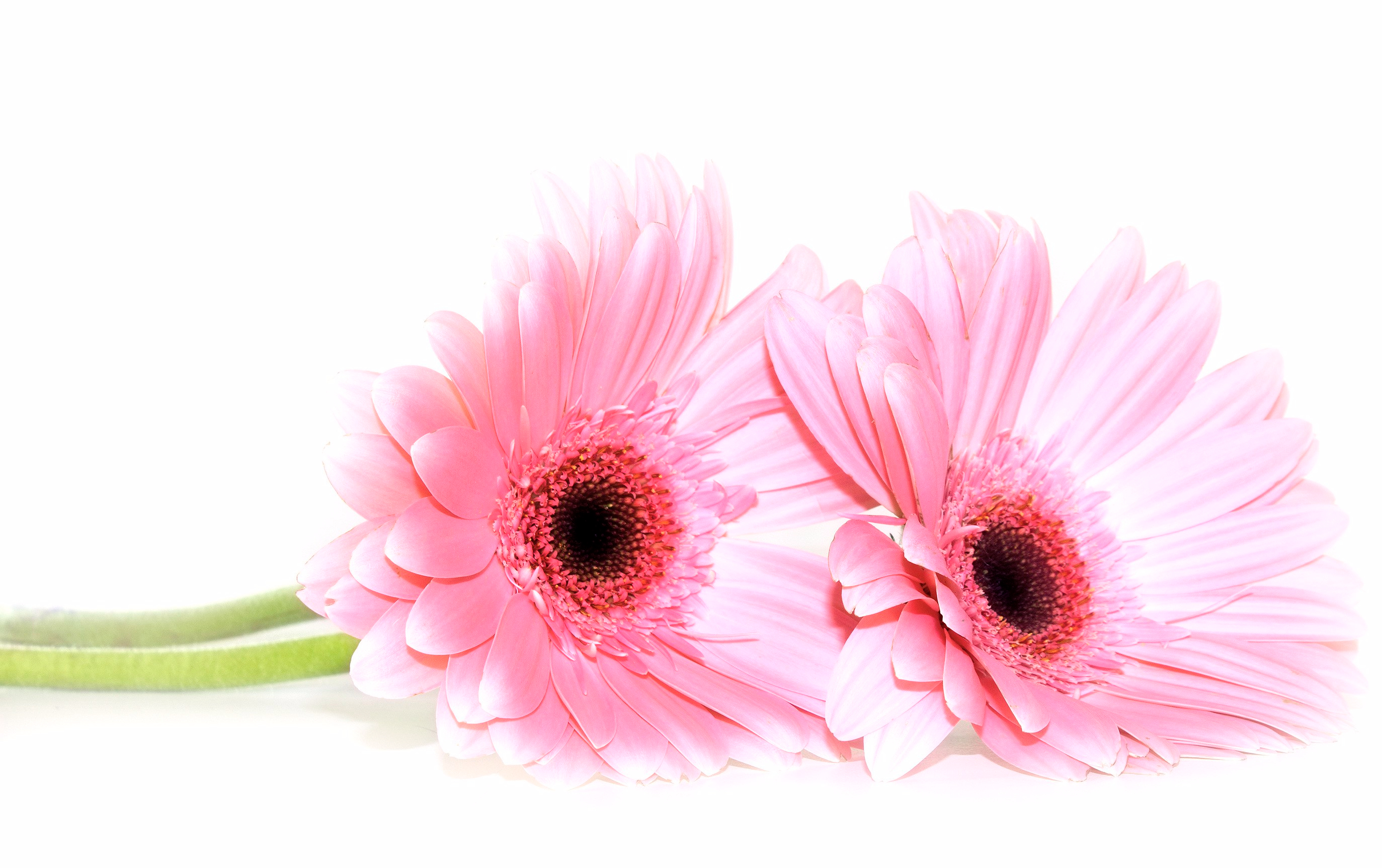daisies-on-white-background_gyy6tyf_.jpg